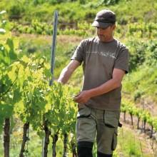 Sur le causse calcaire, la vigne s'épanouit selon des savoir-faire ancestraux.