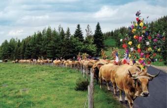 Les vaches parées des plus belles couleurs printanières en route pour l'estive.