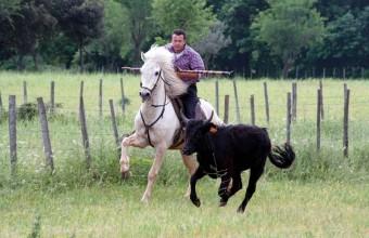 Les taureaux sont élevés pour la course camarguaise.
