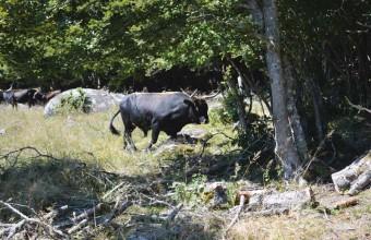 A la découverte de la race aubrac et de son ancêtre, l'auroch.