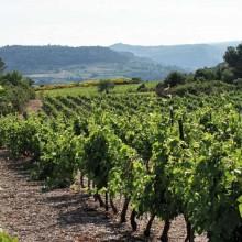 Cultivé depuis le Moyen Age, le vignoble de l'AOC Saint-Chinian s'étend sur 3 300 hectares et 20 communes.